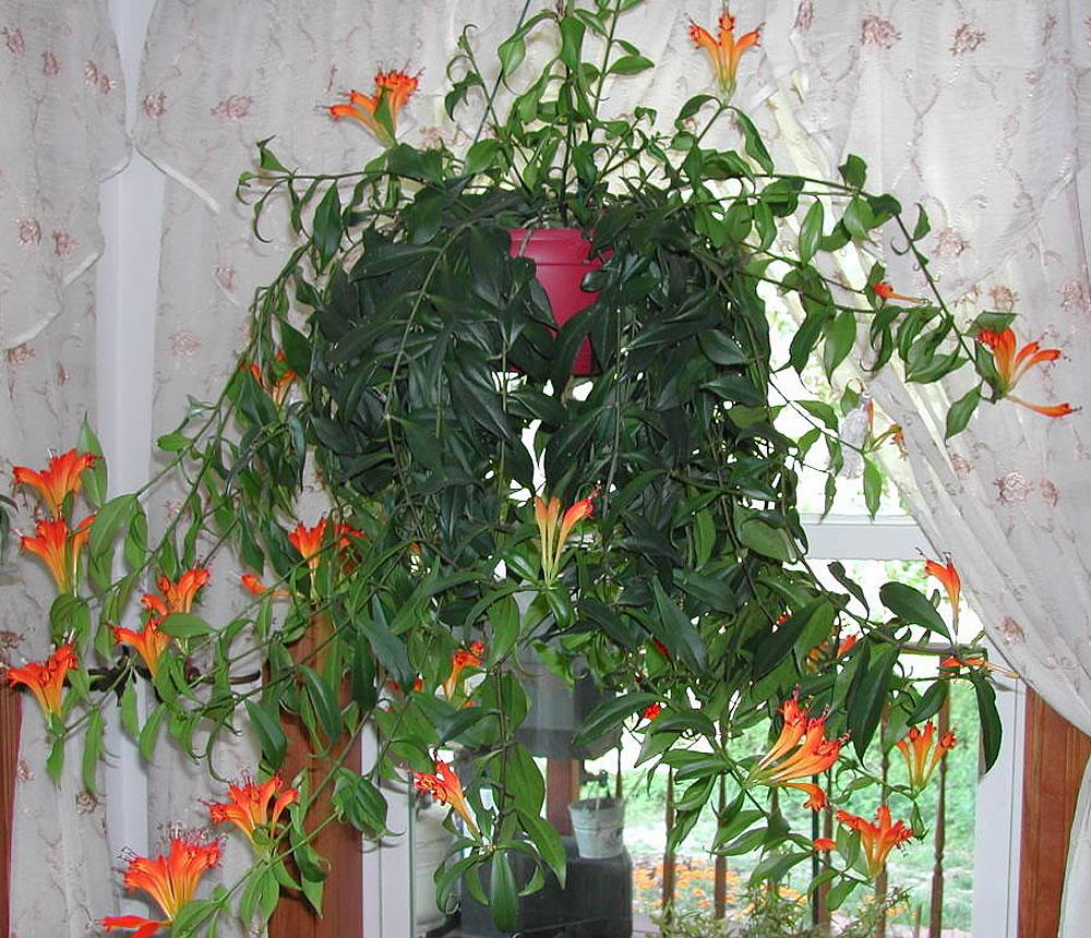 Комнатные цветы эсхинантус фото выращивание уход размножение 737