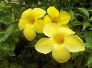 Allamanda cathartica flowers