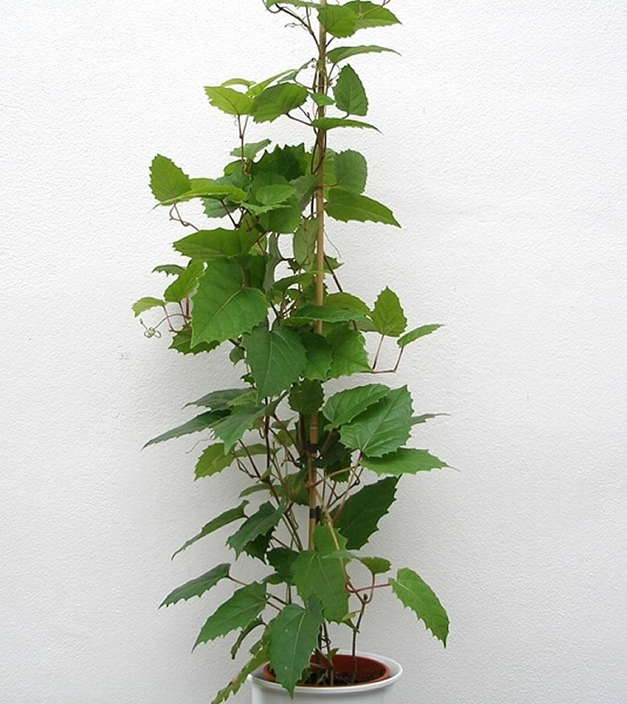 excellent long vine house plant. Cissus antarctica Plants  Flowers Kangaroo Vine