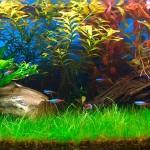 Eleocharis acicularis forma submersa