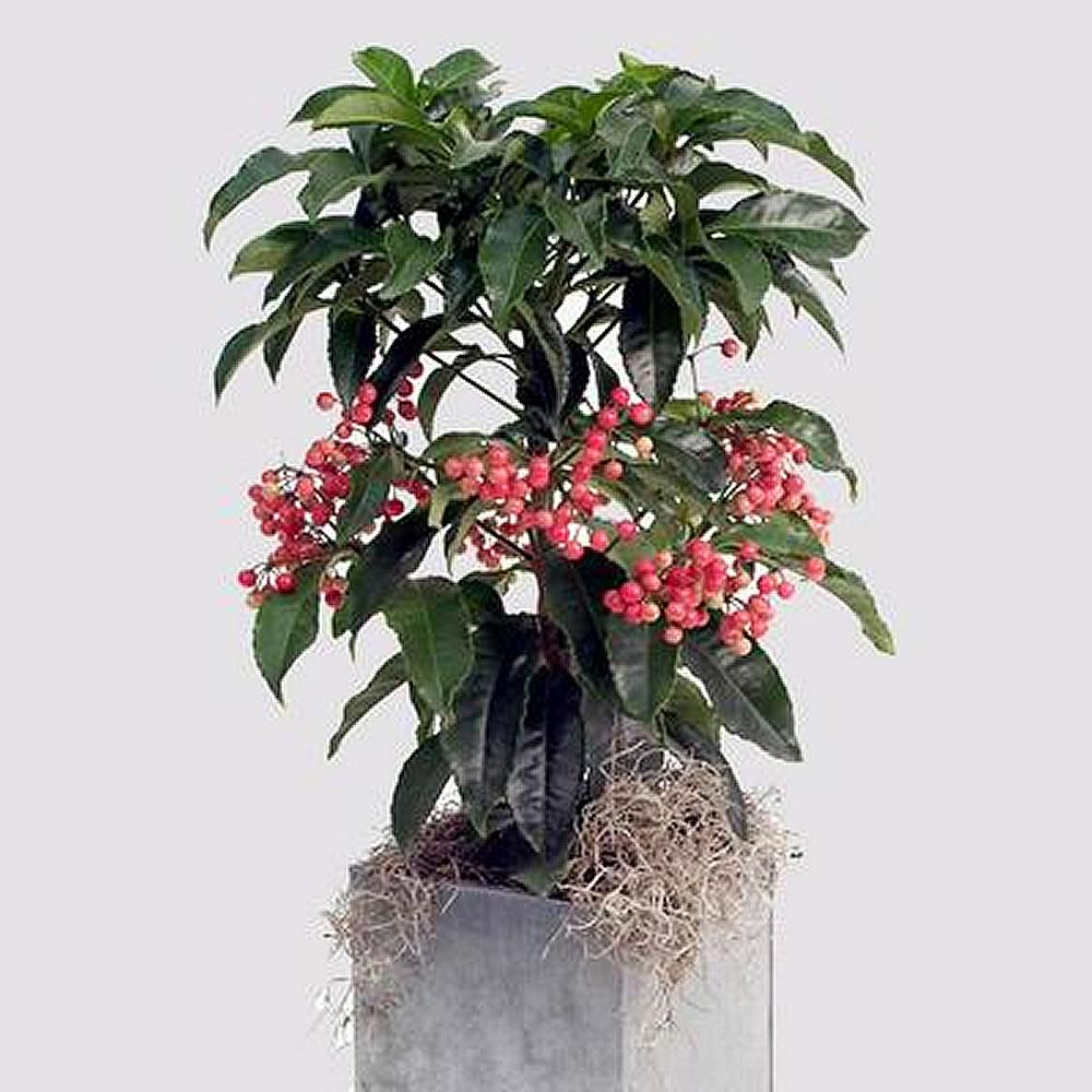 Plants Amp Flowers 187 Ardisia Crenata Var Bicolor