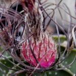 Astrophytum capricorne fruit