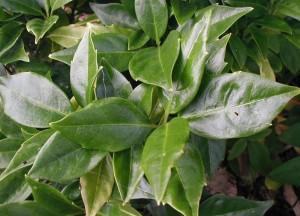 Aucuba japonica