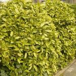 Aucuba japonica cv. Variegata