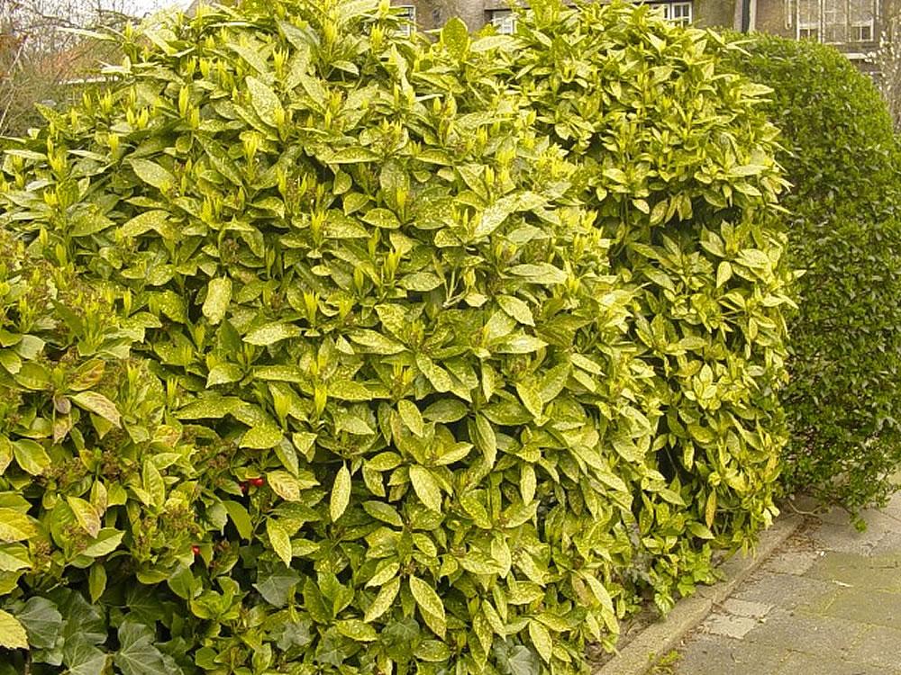 plants flowers aucuba japonica cv variegata. Black Bedroom Furniture Sets. Home Design Ideas