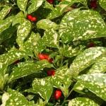 Aucuba japonica cv. Crotonifolia fruits