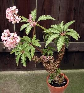 Begonia caroliniifolia