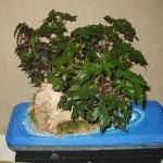 Begonia dregei - bonsai
