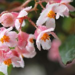 Begonia incarnata flowers
