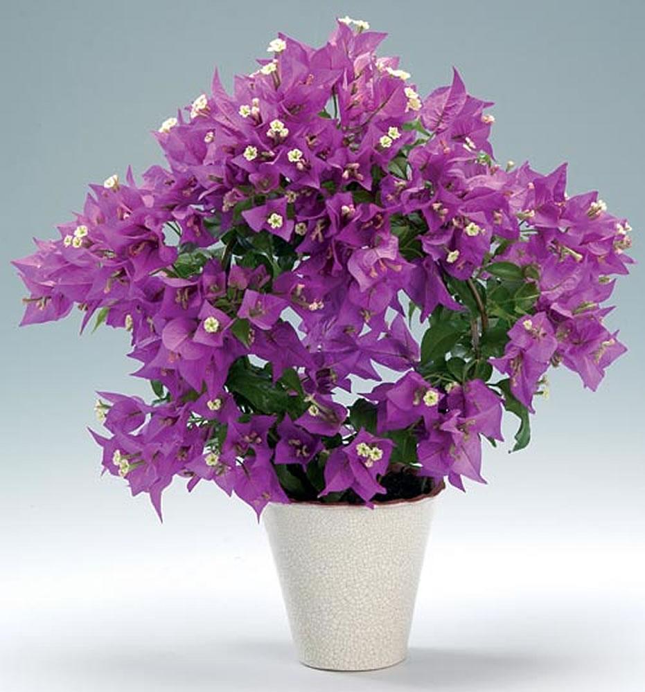 Plants & Flowers » Bougainvillea
