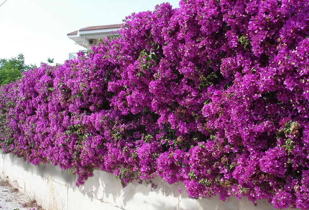 Plants & Flowers » Bougainvillea glabra