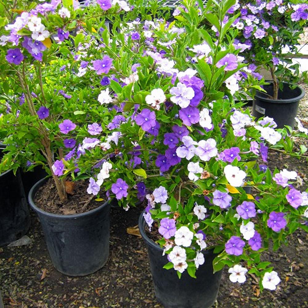 Plants u0026 Flowers u00bb Brunfelsia calycina