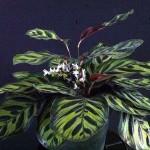 Calathea makoyana flowers