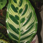 Calathea makoyana leaf