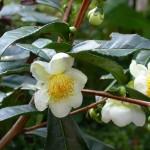 Camellia sinensis  flowers