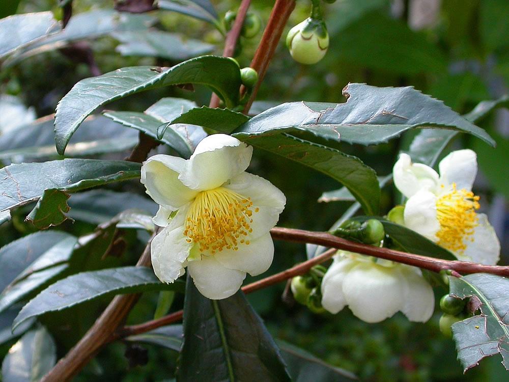 Camellia sinensis care