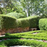 Camellia sinensis hedges