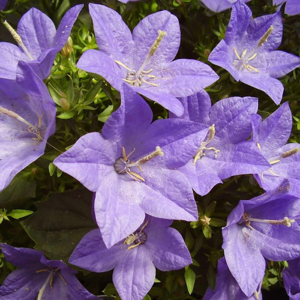 Plants Amp Flowers 187 Campanula Isophylla
