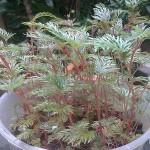 Begonia bipinnatifida