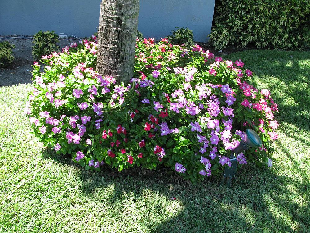 Plants & Flowers » Catharanthus Roseus