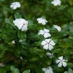 Catharanthus roseus Ocellatus