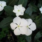 Catharanthus roseus Alba