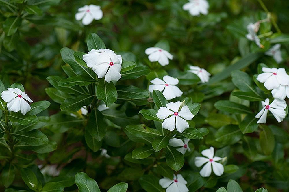 Plants Amp Flowers 187 Catharanthus Roseus