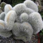 Cleistocactus strausii cristata