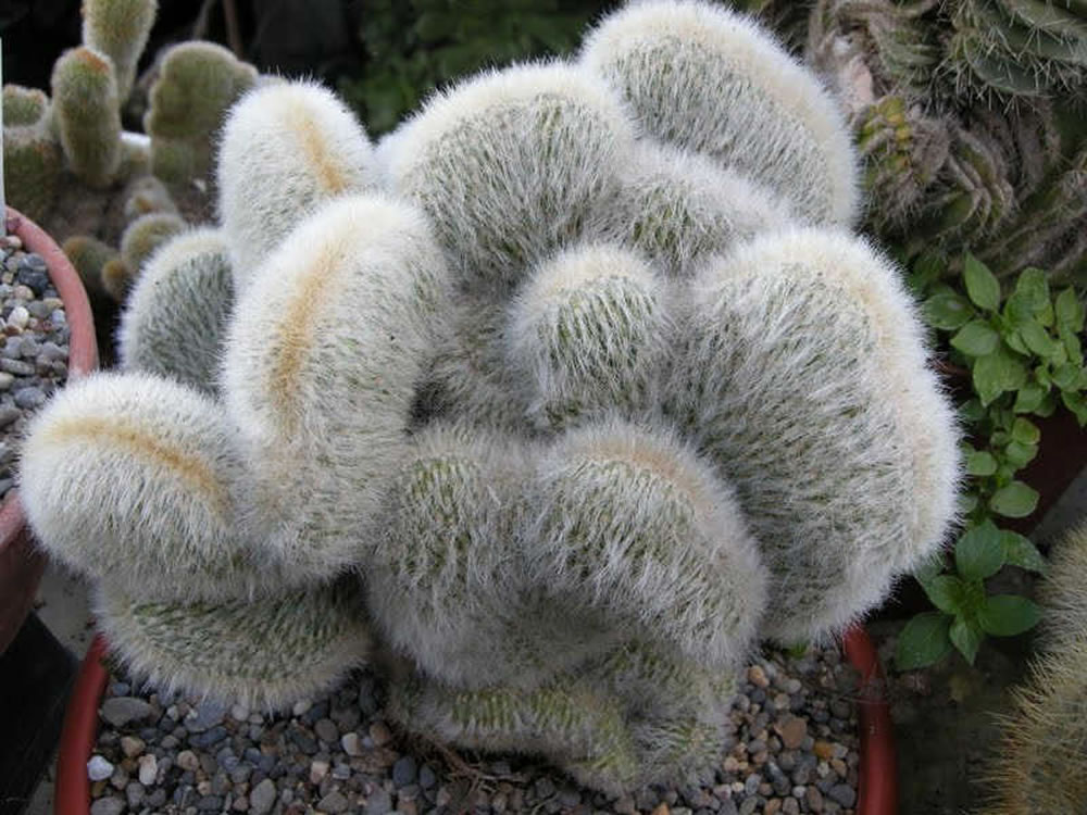 Plants Amp Flowers 187 Cleistocactus Strausii Cristata
