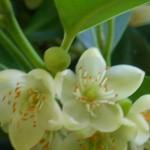 Cleyera japonica flowers