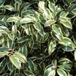 Cleyera japonica Tricolor
