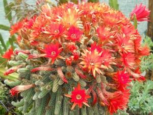 Echinopsis chamaecereus