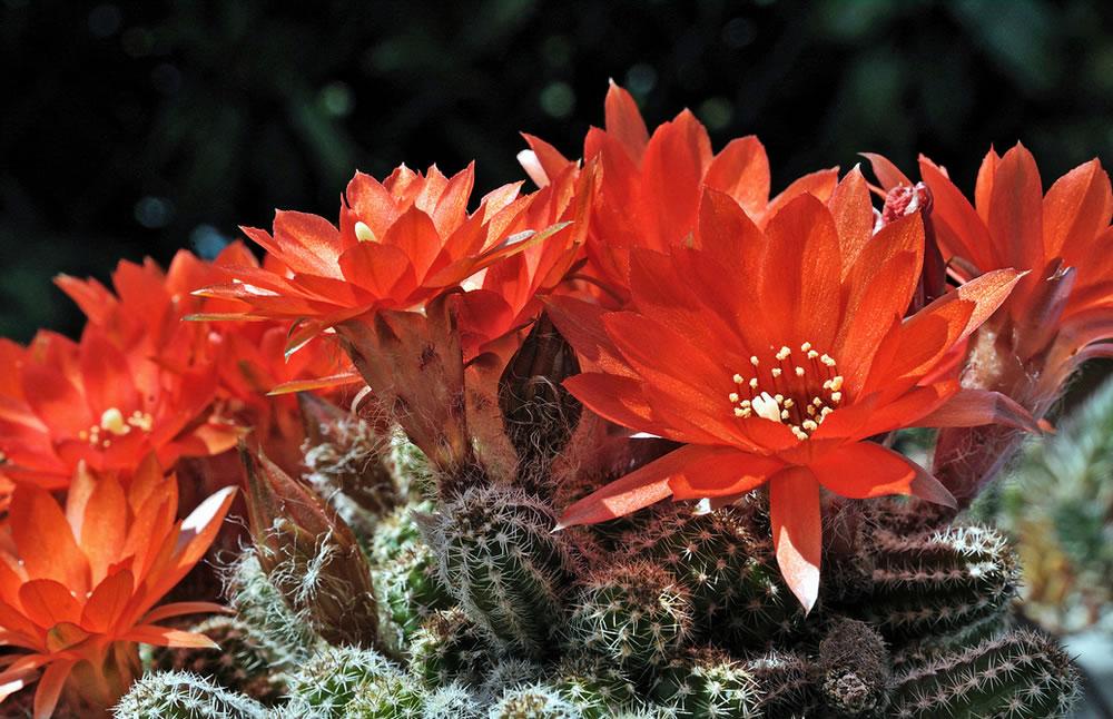 1 fresh cutting of Chamaecereus Silvestri  Peanut Cactus Echinopsis chamaecereus