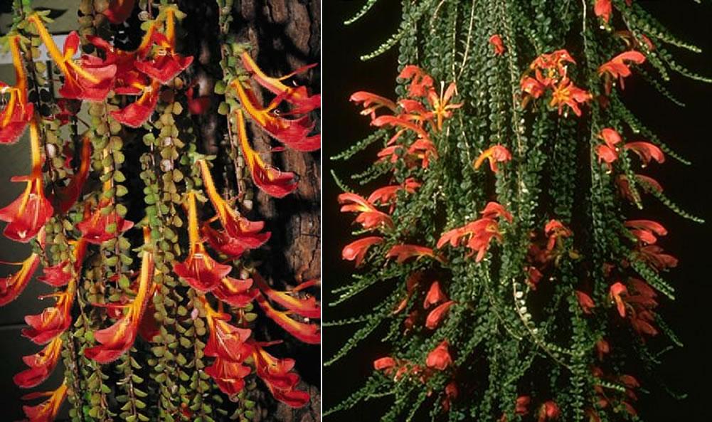 Plants Amp Flowers 187 Goldfish Plants