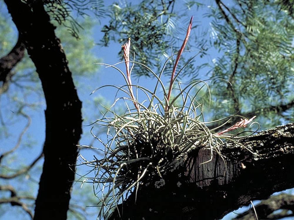 Brassia Brachiata moreover Ric Rac Orchid Cactus Epiphyllum Anguliger also Tillandsia Recurvata additionally Large Indoor Plants as well Selenicereus Anthonyanus Fish Bone Cactus Zig Zag Cactus St Anthonys Rik Rak. on orchid cactus care