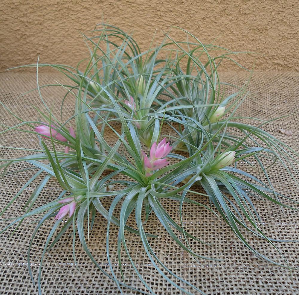 Air fern plants for sale maidenhair fern maidenhair fern for Plants for sale