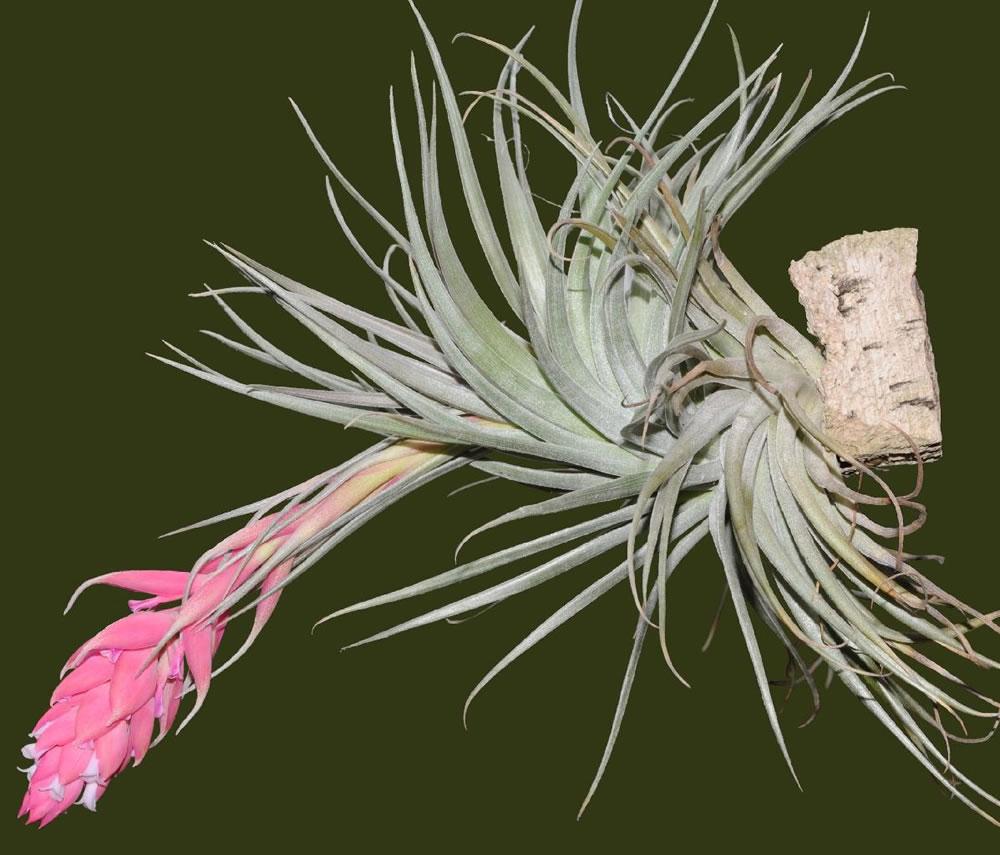 Plants Amp Flowers 187 Tillandsia Stricta